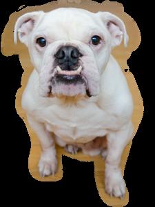 White bulldog photo